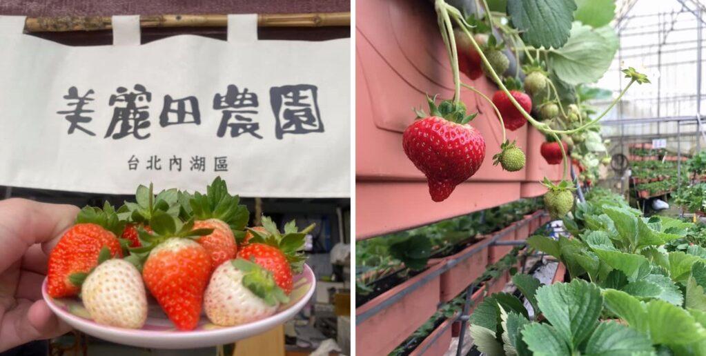 內湖 採草莓 美麗田農園